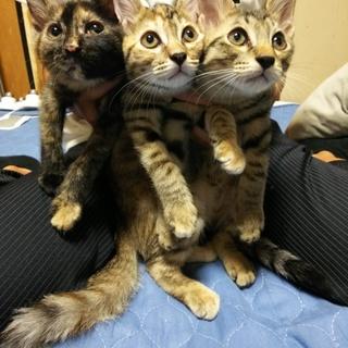 生後2ヶ月半の子猫