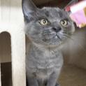 ツンデレ男子のグレー猫@4ヶ月
