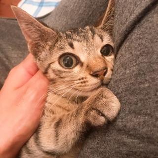 穏やかな美人さんキジ猫3.4ヶ月♀