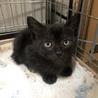【黒猫メス】生後2ヶ月の保護猫・仲良し三兄弟