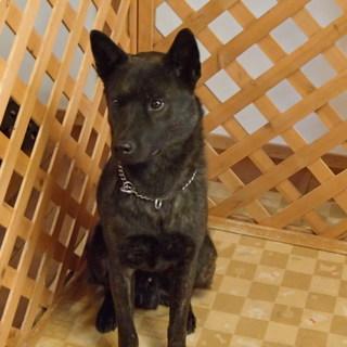 里親募集:甲斐犬、雄、約1.5歳