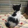 可愛いハチわれ子猫ちゃん サムネイル3