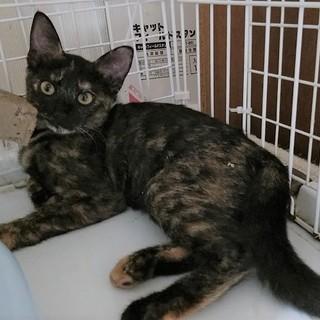 魅惑のサビ猫お転婆な女の子4か月