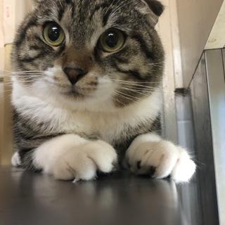耳折れ猫のサー君♂ 遊ぶの大好きな1歳半