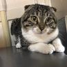 耳折れ猫のサー君♂ 遊ぶの大好きな1歳半 サムネイル3