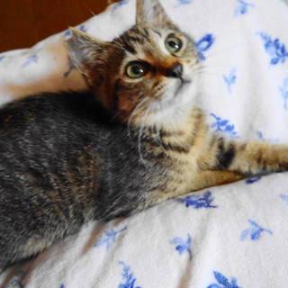 膝の上大好き☆キジトラ女子2.5ヶ月