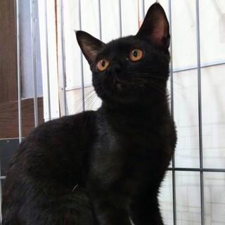 単身者歓迎☆先住猫のお友達に☆カンちゃん4ヶ月