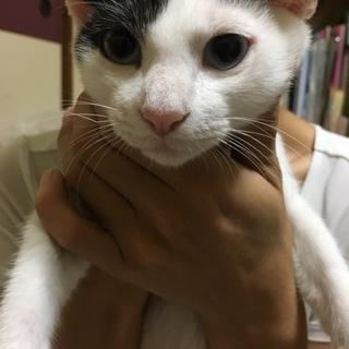 キュートな白黒猫さん!2ヶ月女の子
