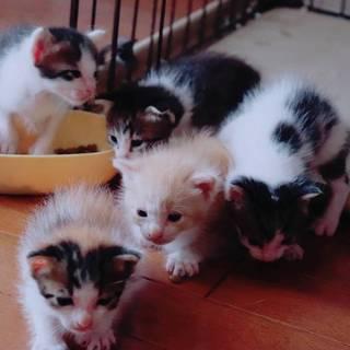 8/1生まれの子猫6匹、かわいいです。