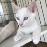 白猫ブルーアイ♂シャムミックス4ヶ月ナザル