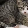 サバトラ柄のかわいい猫ちゃんです!