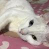 オッドアイの白猫 だいふくです