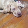ピットブルテリア仔犬7カ月