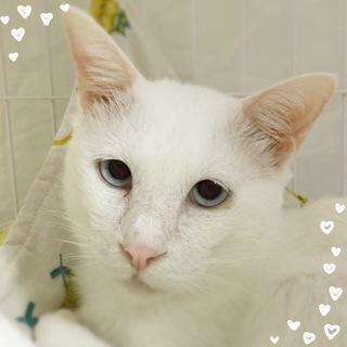 綺麗な白猫♪白くん