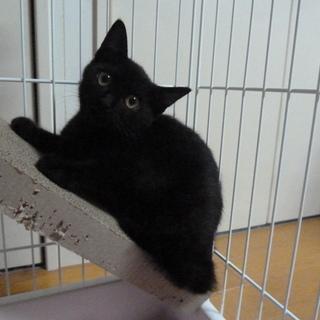 甘えん坊になりそうな予感☆ 3ヶ月の黒猫です