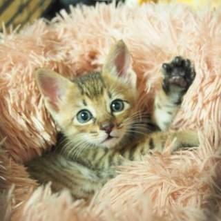 「動物病院発! 5つ子の糸...」福岡県 - 猫の里親募集情報(277044)