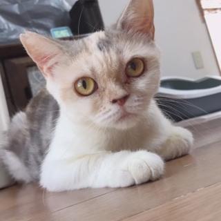 ブリティッシュっぽい三毛猫ちゃん!