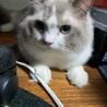 成猫のペット保険について
