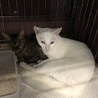 キジと白の兄弟猫ちゃん♡慣れてます!