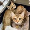 しましまツインズ子猫ぐりぐら サムネイル4