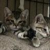 しましまツインズ子猫ぐりぐら サムネイル6