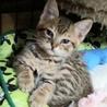 しましまツインズ子猫ぐりぐら サムネイル2
