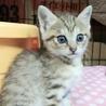 しましまツインズ子猫ぐりぐら サムネイル3