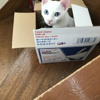 保護猫4ヶ月 白猫の男の子