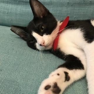 ハチワレ4ヶ月子猫