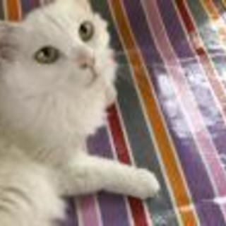 白猫毛長の 美猫キャビアちゃん