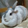 ミニウサギの女の子です。