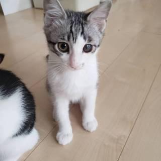 可愛いキジ白子猫、家族募集中です!