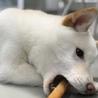 淡茶柴犬「櫻子」