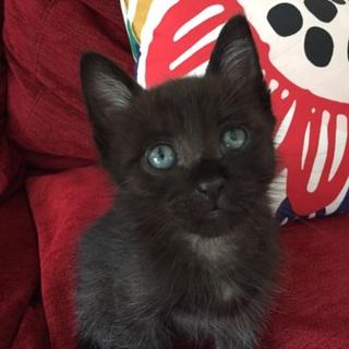 甘えん坊の黒猫君を家族にして下さい。