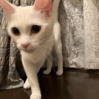 白猫のみことちゃん1歳