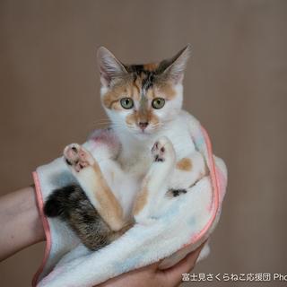 三毛猫シナちゃん3ヶ月