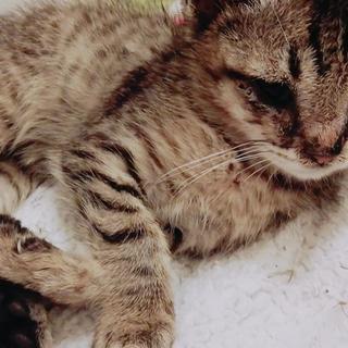 子猫(キジトラ)人馴れ