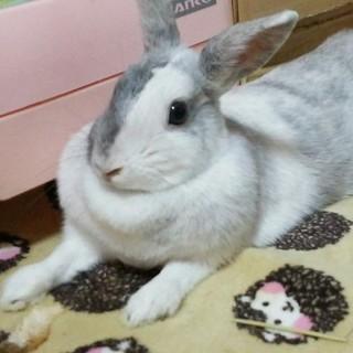 ミニウサギの女の子、てんちゃん1歳。