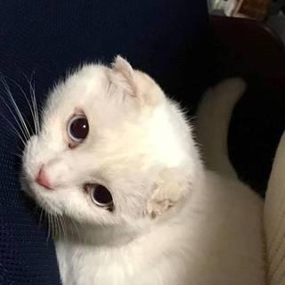 劣悪環境で掻きすぎてスコ風の耳に、白猫チロ♀