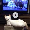 猫ちゃんのTVを特等席で鑑賞中のコタロウくん。ガン見!!