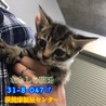 可愛いキジトラ子猫ちゃん♂兄妹で収容 047