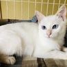 ★生後4ヶ月★ 白猫ちゃん 女の子