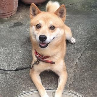 柴犬 タロ を幸せにしてください