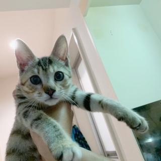 キジトラ柄人懐っこい雌の子猫ちゃんです!