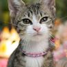 ダヤン似・アーモンドアイの美形猫