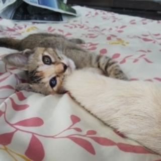 三毛サビの可愛いきれいなメス子猫