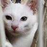 センター引き出し、真っ白美猫姉妹ももちゃん サムネイル2