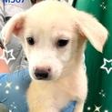 個体番号:M567 可愛い赤ちゃん子犬