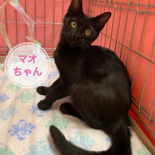 スラっと体型の美しい黒子猫マオちゃん