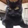黒猫ブリティッシュショートヘアー 4歳です
